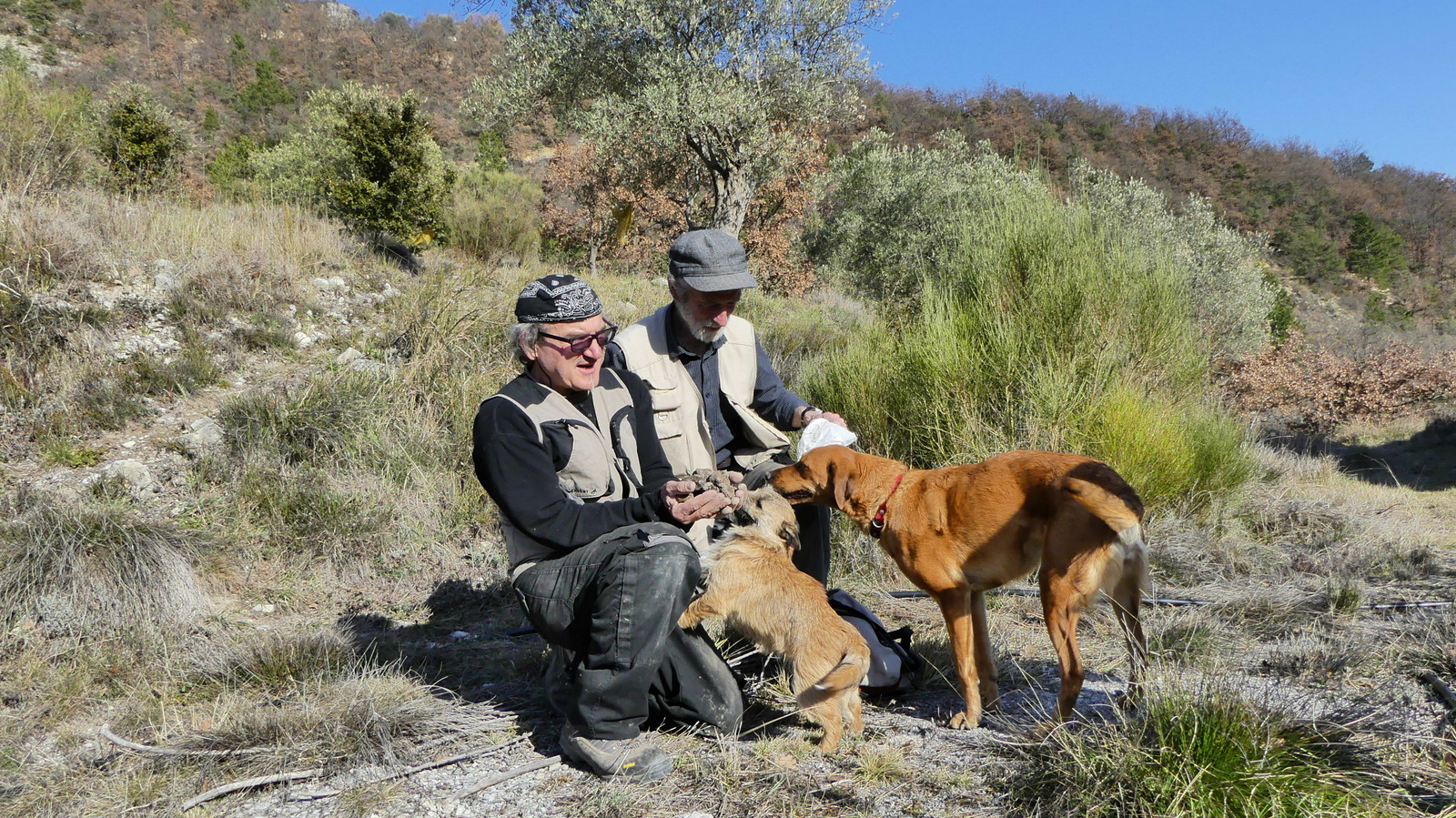 Truffle hunting clever dogs